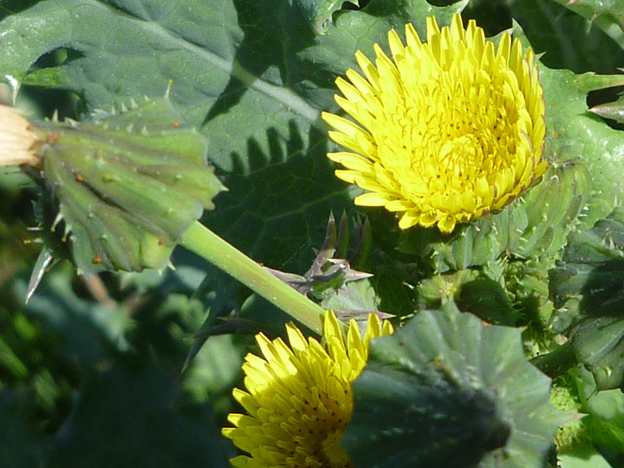 Prickly cow thistle sonchus asper prickly cow thistle yellow flowers mightylinksfo