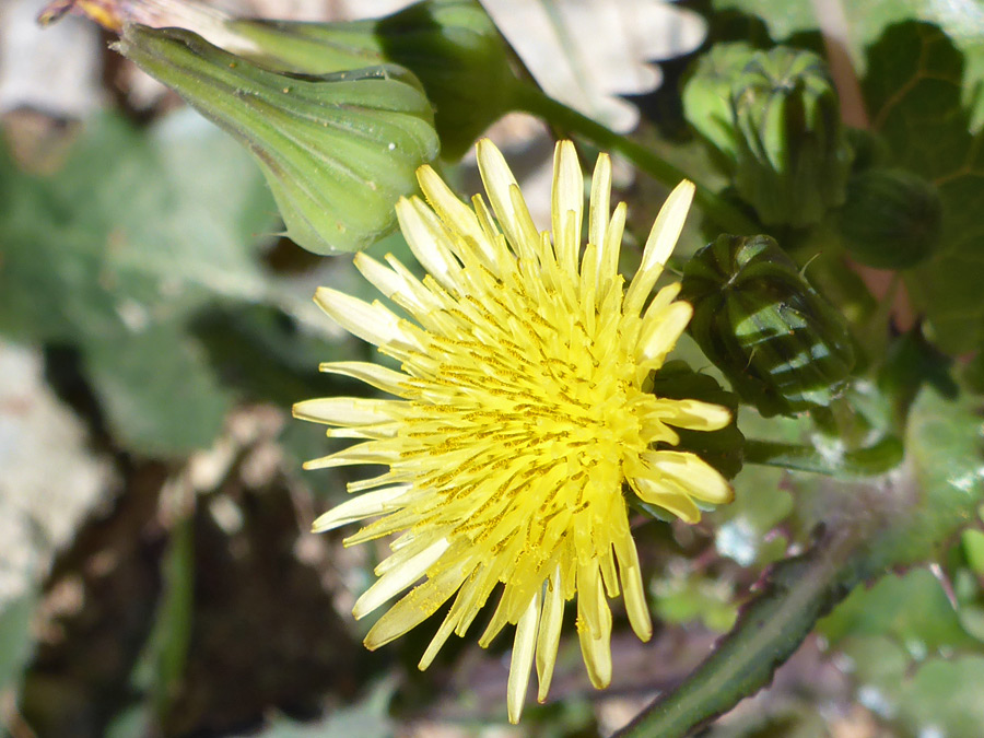 Yellow flowerhead