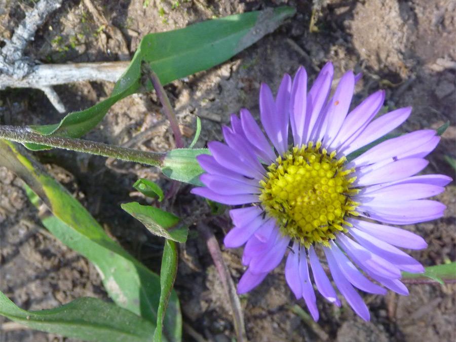 Asters Flowers Purple Dark Purple Flower