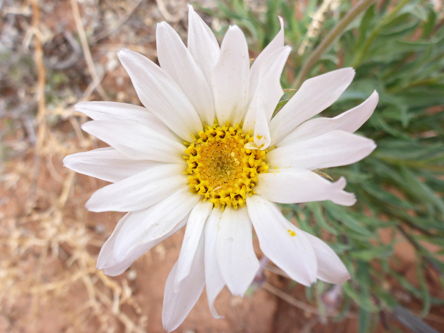 White and yellow flowerhead