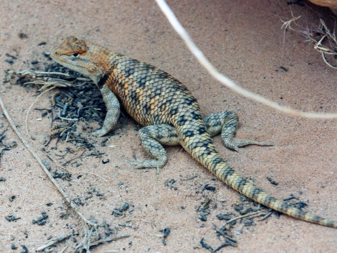 Desert Spiny Lizard A desert spiny lizard