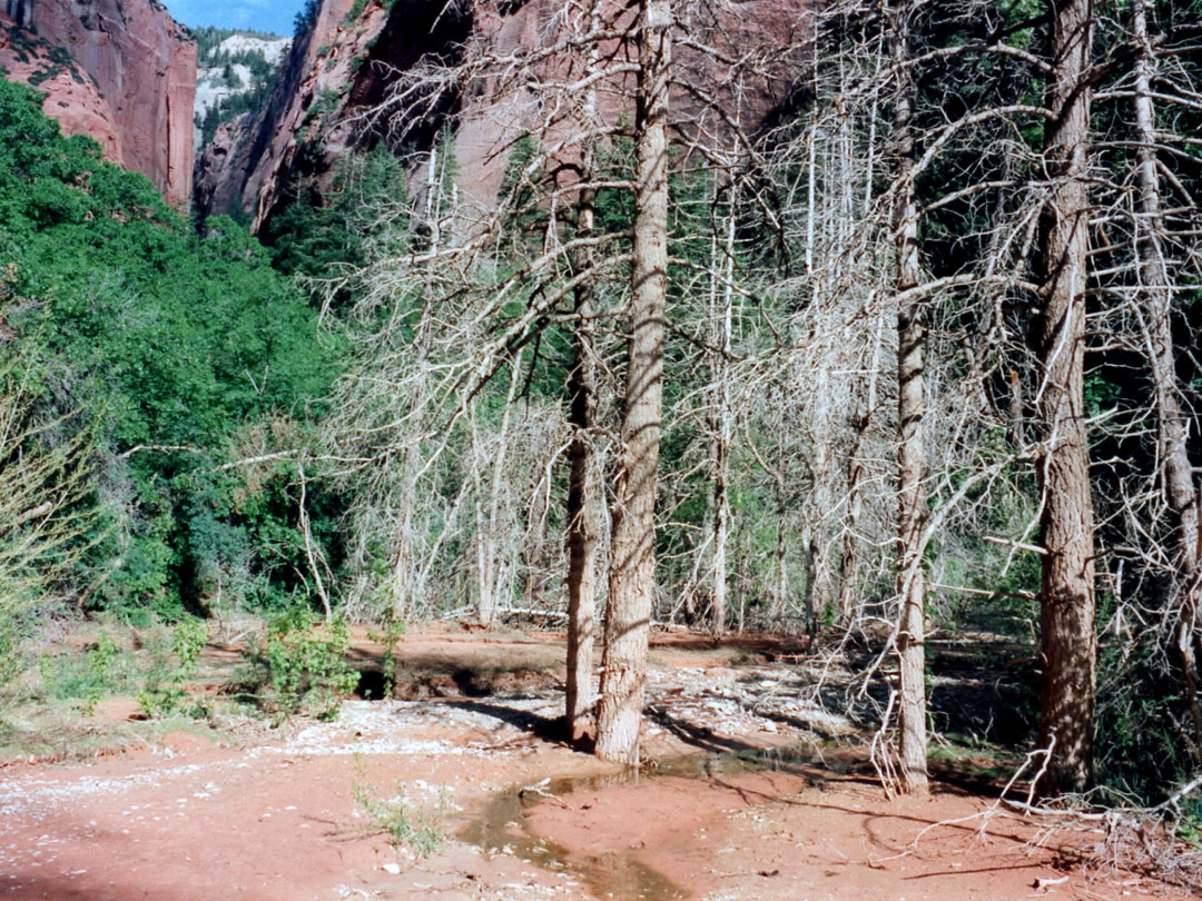 Trees in the canyon