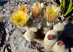 Texas rainbow cactus, Big Bend National Park