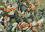 Twist spine prickly pear