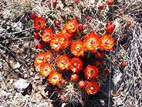 Claret cup cactus, Fort Davis National Historic Site