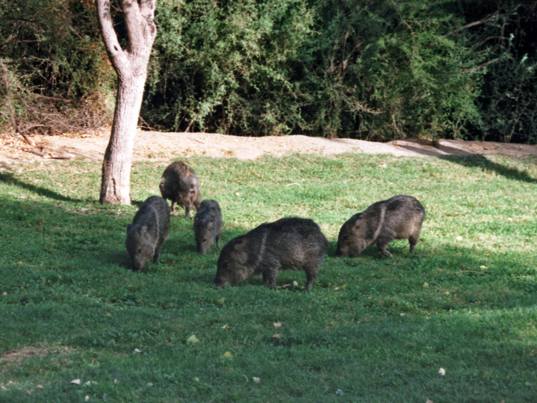 Javelinas at Rio Grande Village campsite