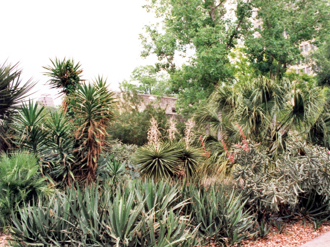 Yucca and agave