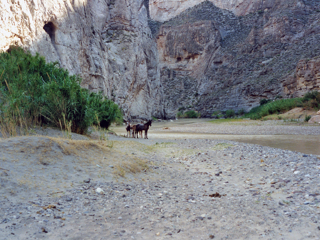 Horses in Boquillas Canyon