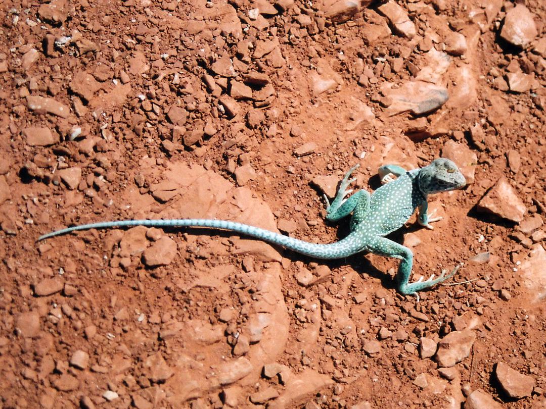 Collared lizard in Palo Duro