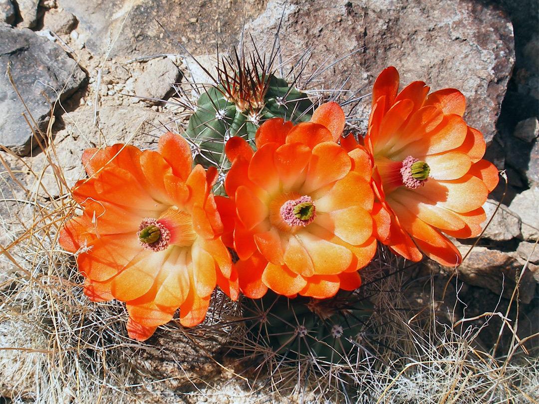 Orange Flowers Pictures Of Echinocereus Triglochidiatus Southwest Usa Echinocereus