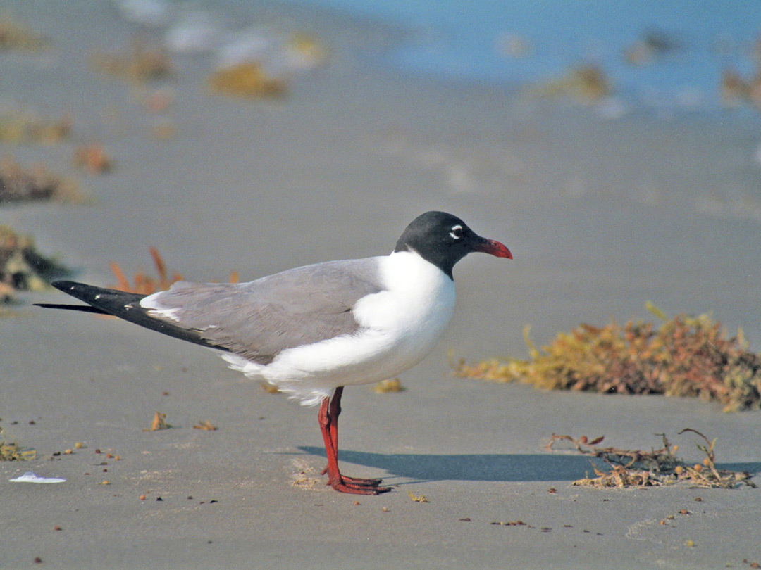 A laughing gull