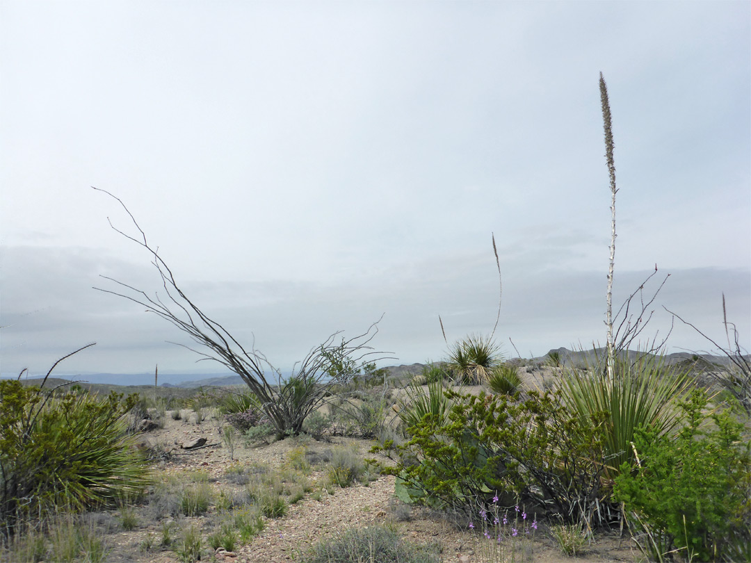 Nolina and ocotillo