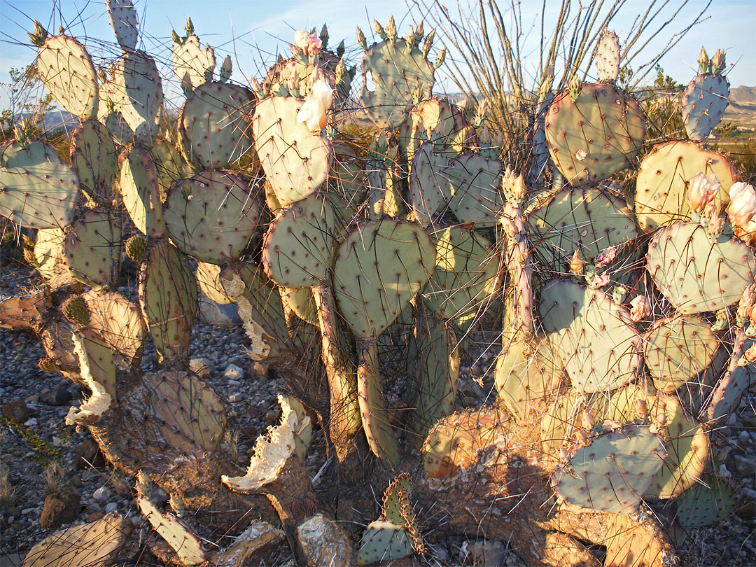 Opuntia and ocotillo