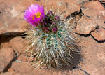 Sclerocactus parviflorus, Glen Canyon National Recreation Area
