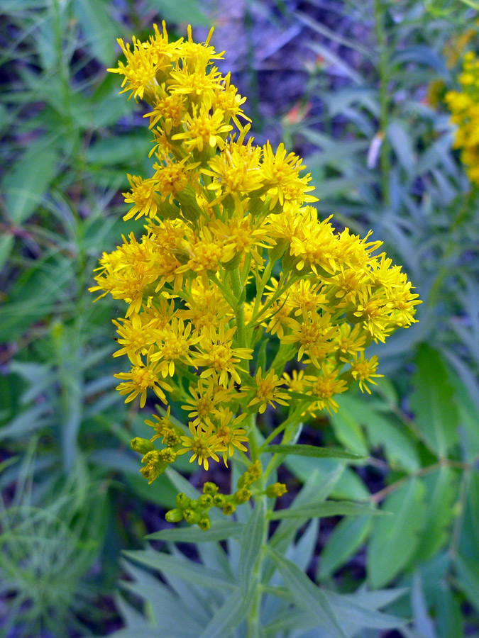 Broom-Like Ragwort