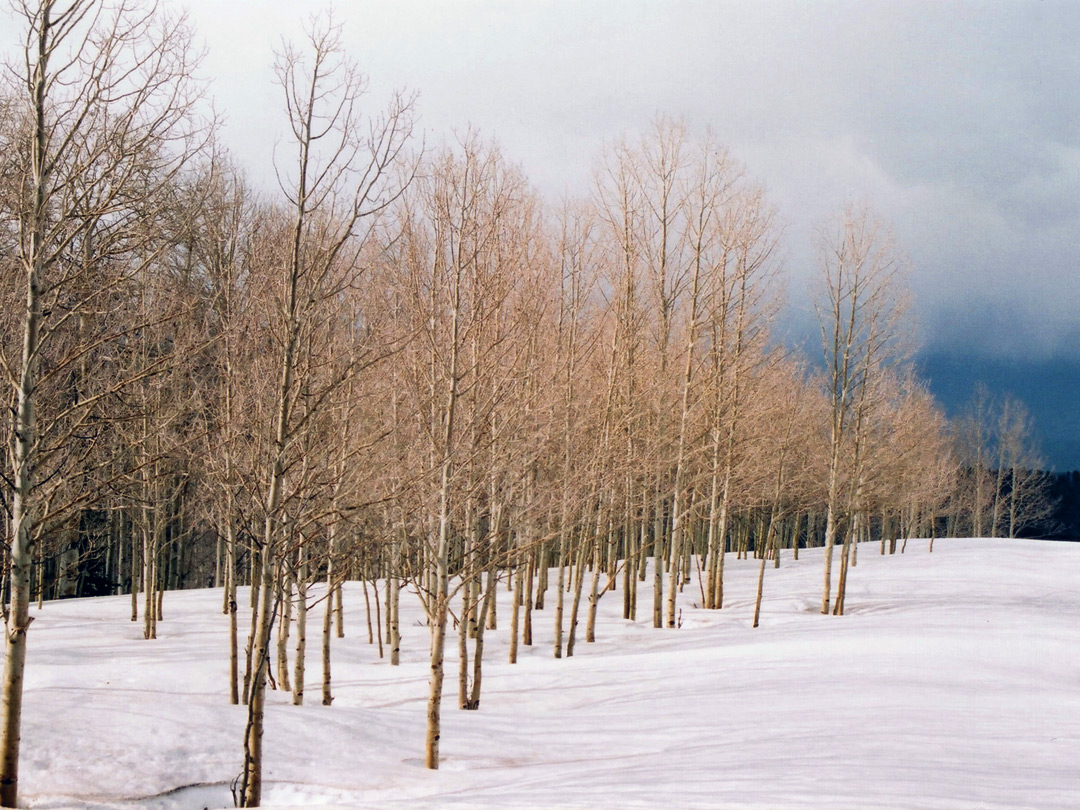 Aspen in the snow
