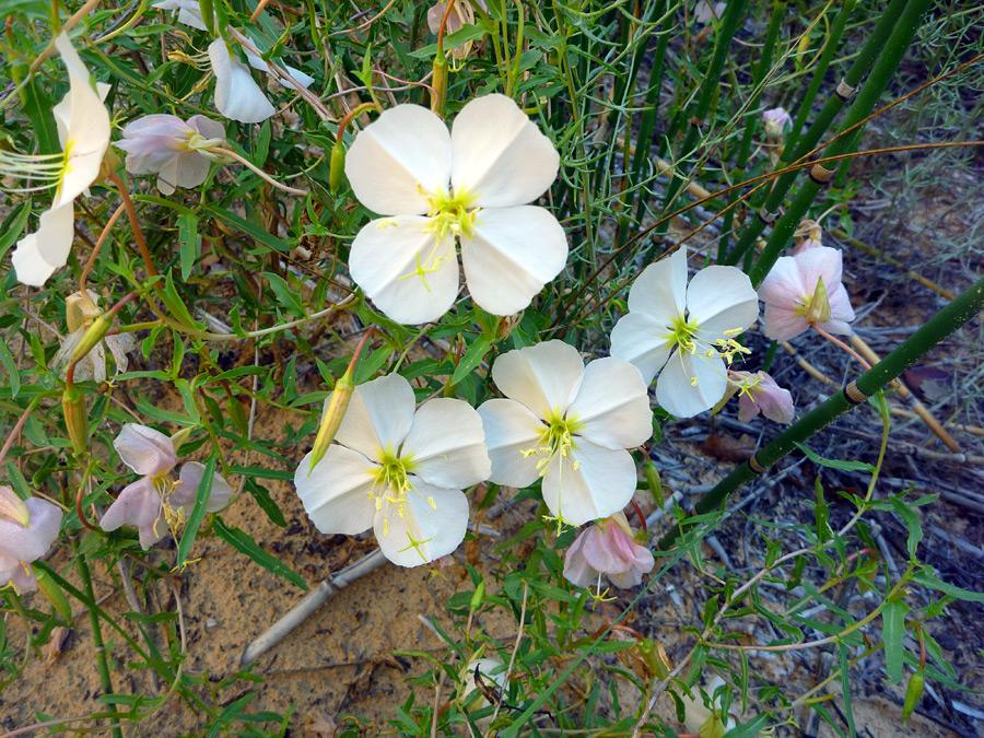 Evening primrose: Death Hollow, Grand Staircase-Escalante National ...