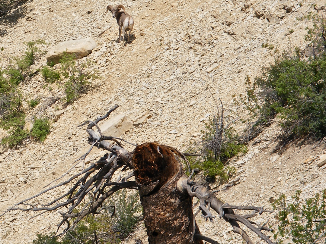 Bighorn sheep by Mystery Canyon