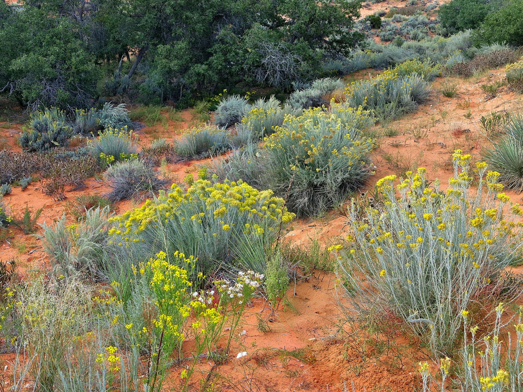 Yellow flowers coral pink sand dunes state park utah yellow flowers mightylinksfo