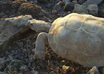 Video of Desert tortoise