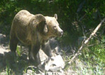 Video of a bear along the Avalanche Peak Trail