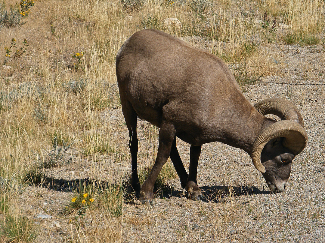 Big horn sheep by the road