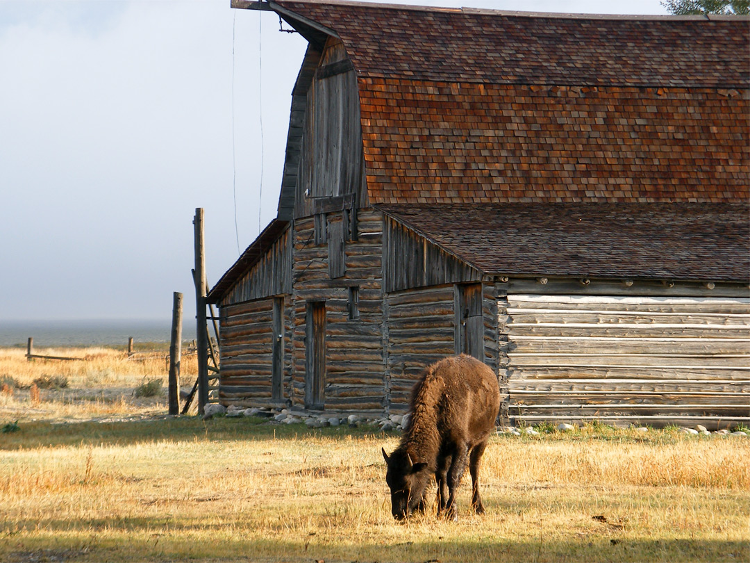 Bison at Mormon Row