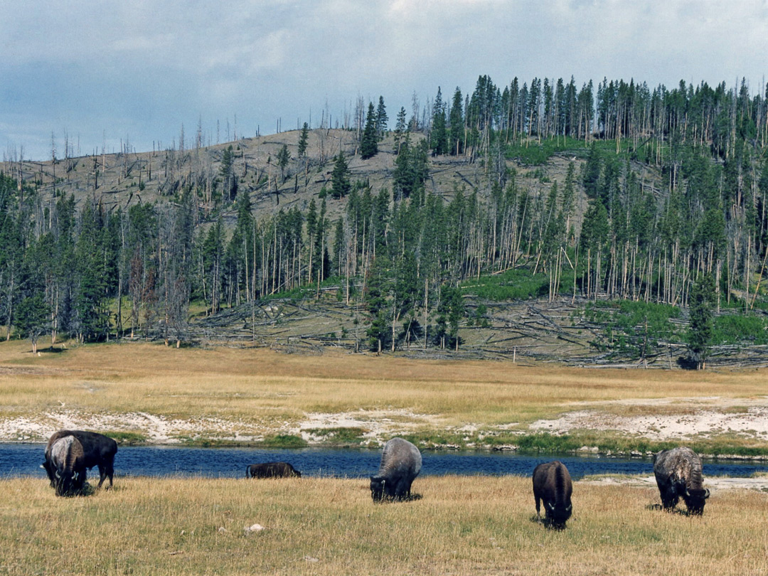 Bison at Fountain Flats