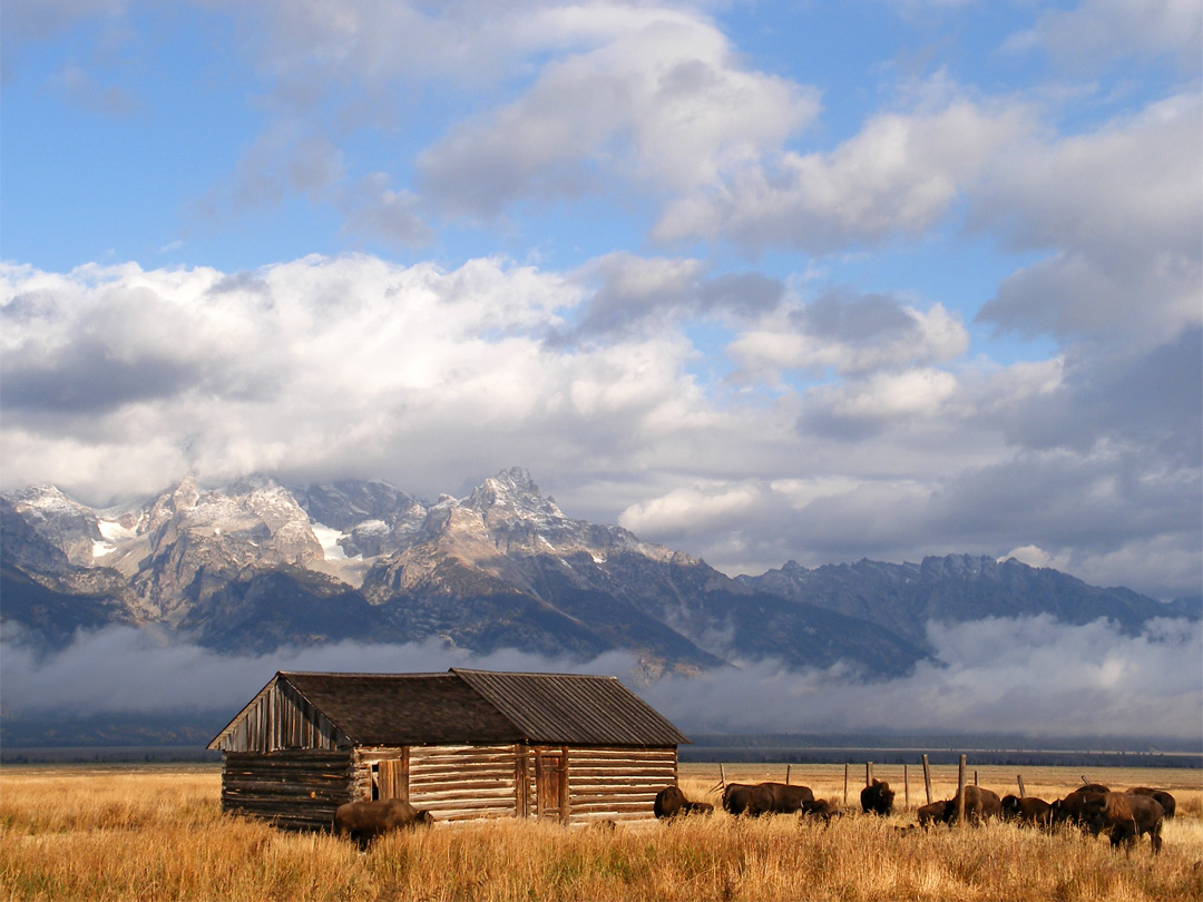 Bison in front of the Tetons: Grand Teton National Park, Wyoming