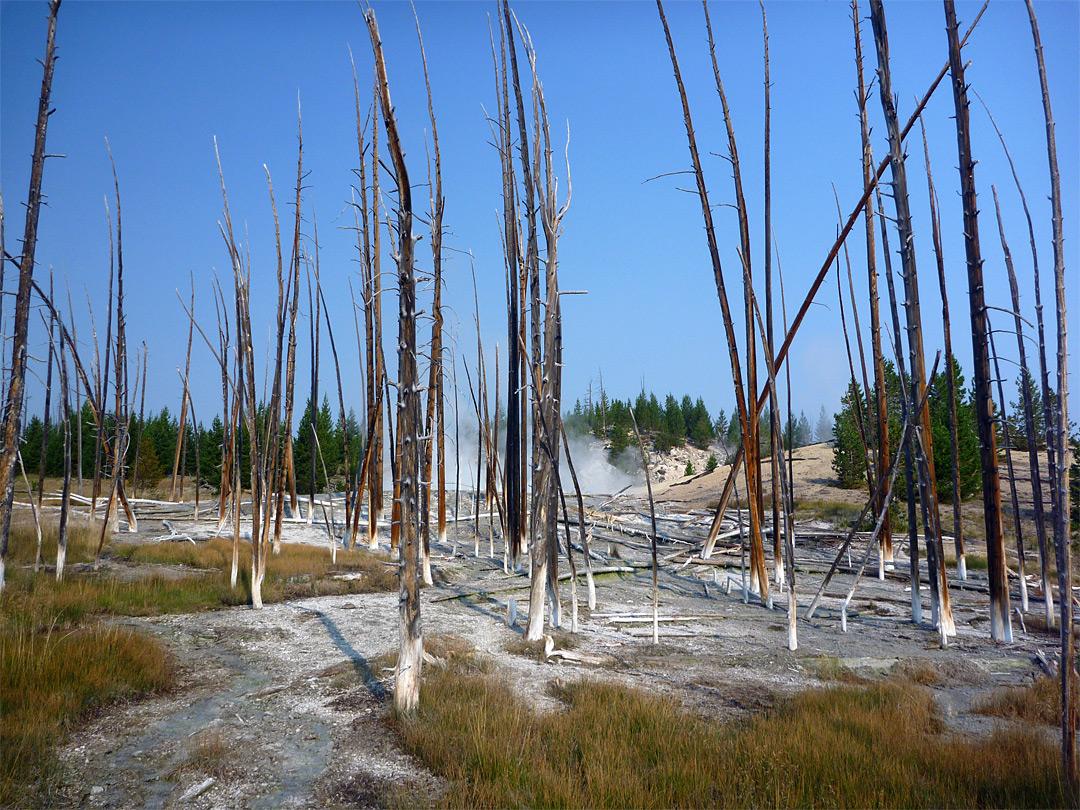 Dead trees near Dante's Inferno: Sylvan Springs, Yellowstone National ...