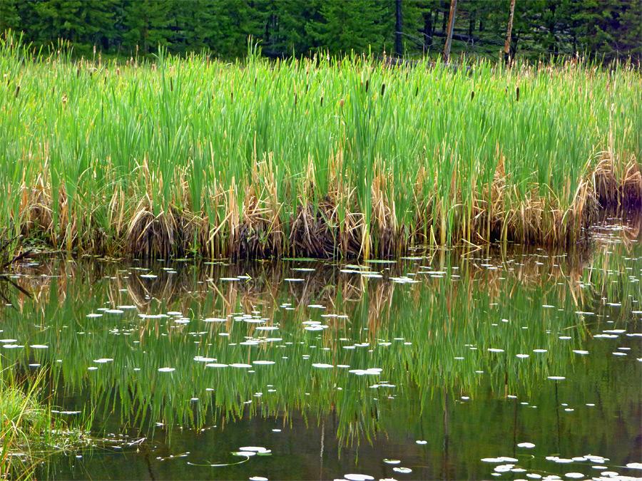 Reeds Harlequin Lake Trail Yellowstone National Park