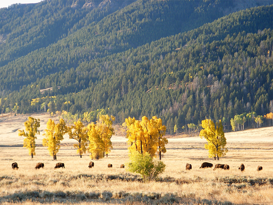 Bison and aspen