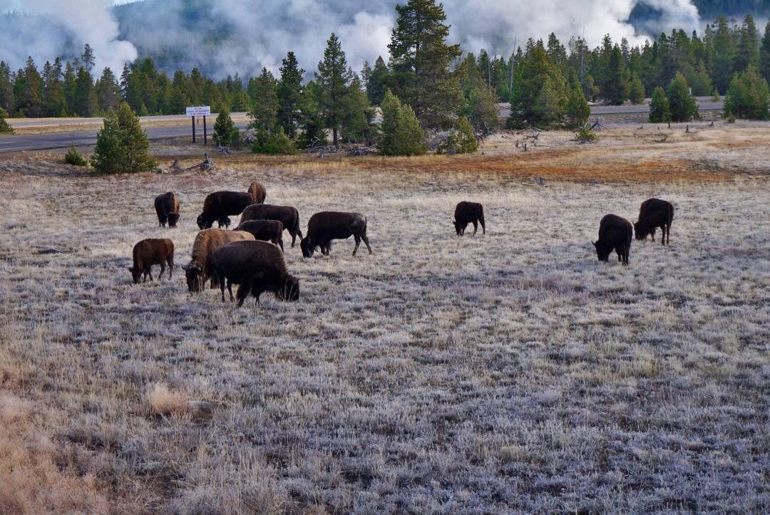 Bison Upper Geyser Basin Yellowstone National Park Wyoming