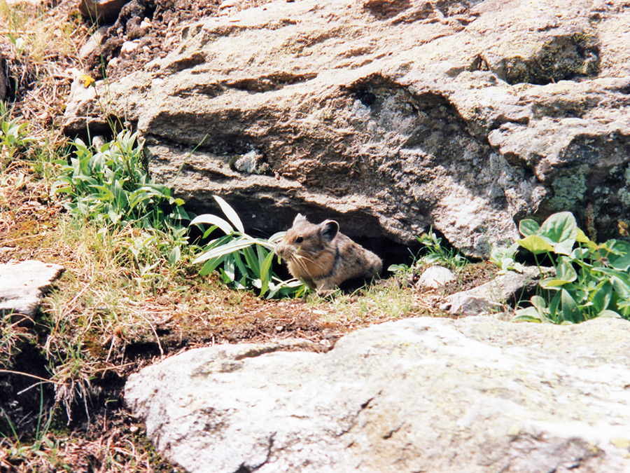 Pika building a nest