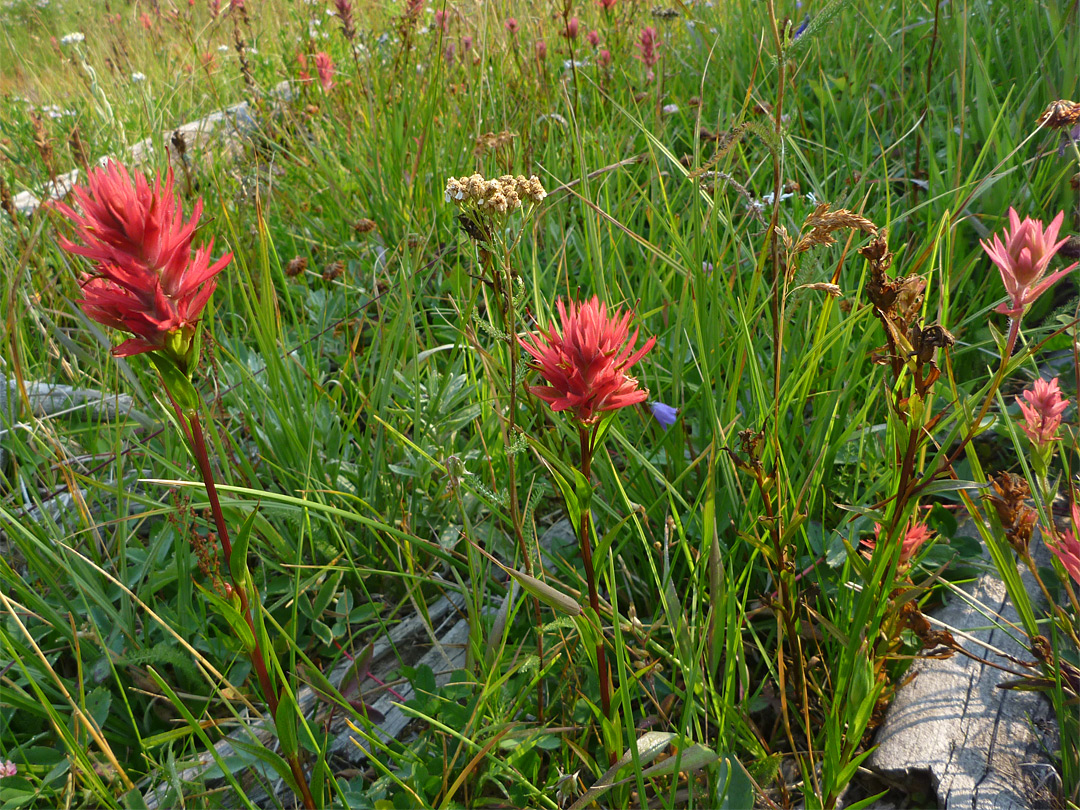 Paintbrush flowers
